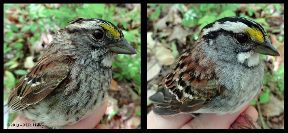 Morphs of the White-throated Sparrow (Zonotrichia albicollis)