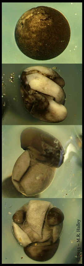 Embryo_Deformities