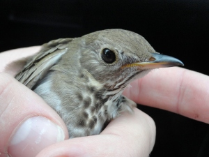 A second-year Newfoundland Gray-cheeked Thrush (C. m. minimus); notice the how the yellow on the lower mandible extends beyond the nostrils, a unique feature of this subspecies.