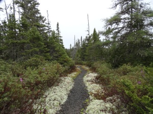 Habitat on Ochre Hill, where spongy white lichen line the trails, winding through bogs with stunted stands of Black Spruce and Balsam Fir