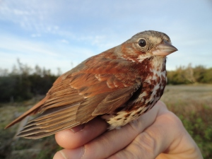 Fox Sparrow (Passerella iliaca), caught in Labrador.