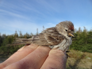 Common Redpoll (Acanthis flammea), captured in Labrador.