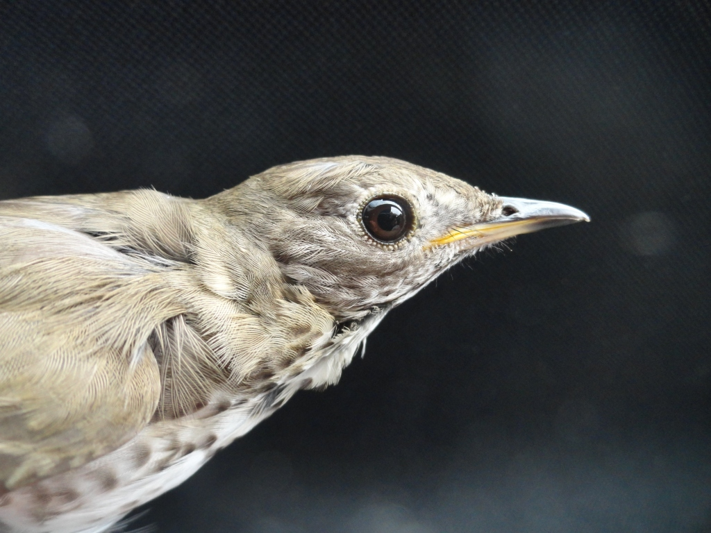 Gray-cheeked Thrush (Catharus minimus) from the north peninsula of Newfoundland