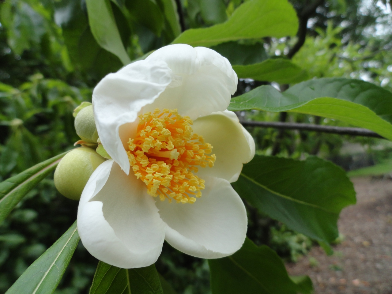 Franklinia Flowers
