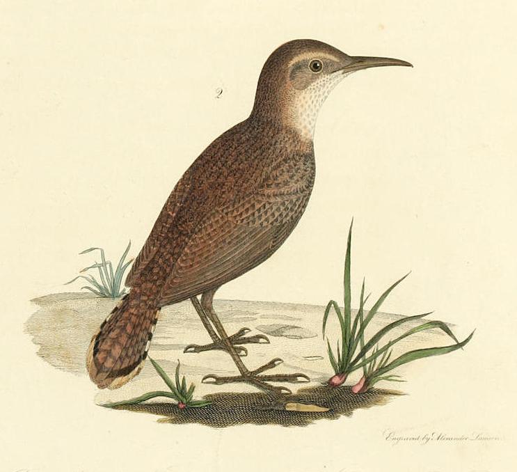 Rock Wrens inPennsylvania