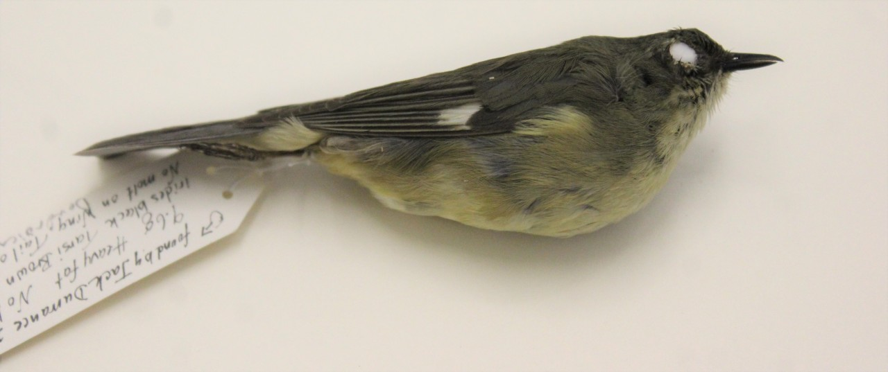 Delayed plumage maturation in male Black-throated Blue Warblers?